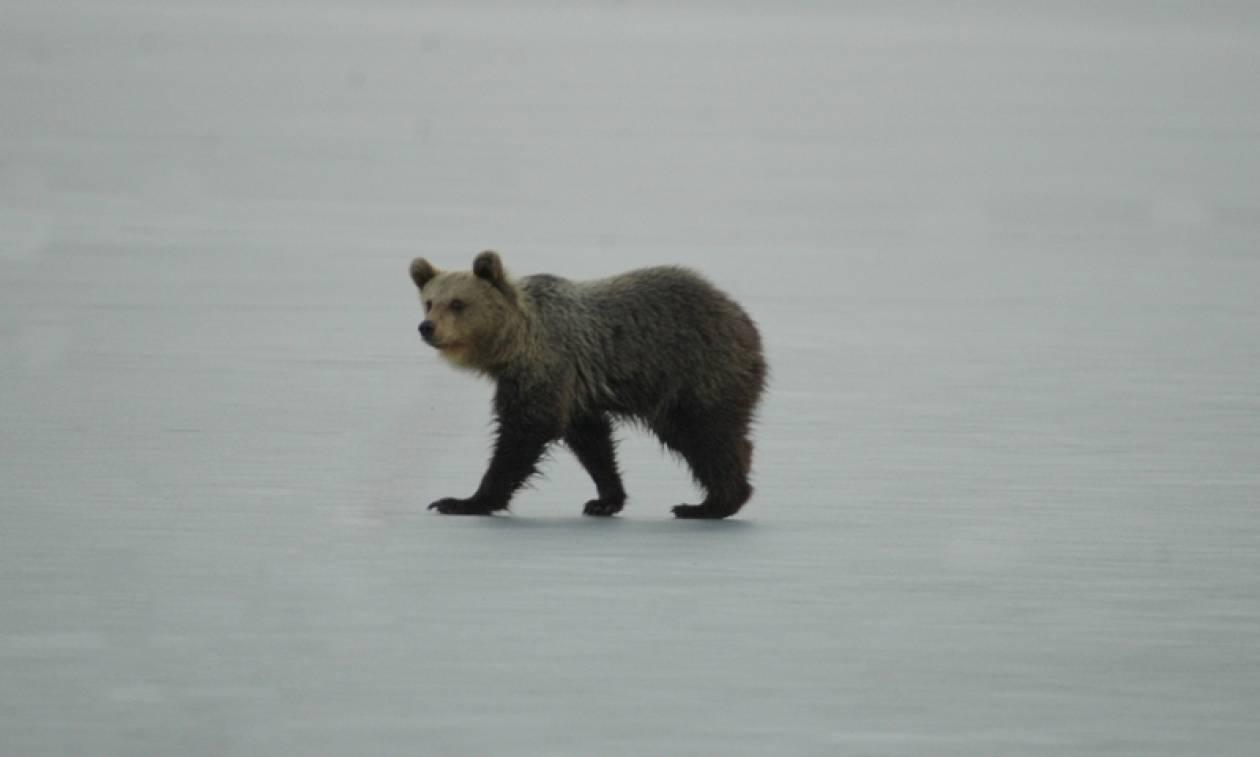 Καστορία: Αρκουδάκι έκανε βόλτες επί ώρες πάνω στην παγωμένη λίμνη! (pics)