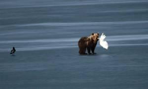 Επέστρεψε το αρκουδάκι στη λίμνη της Καστοριάς και τα έβαλε με... αετό