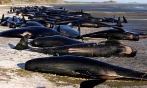 Σπαρακτικές εικόνες: Μυστήριο με 400 φάλαινες που βρέθηκαν να ξεψυχούν στη Νέα Ζηλανδία (Pics+Vid)