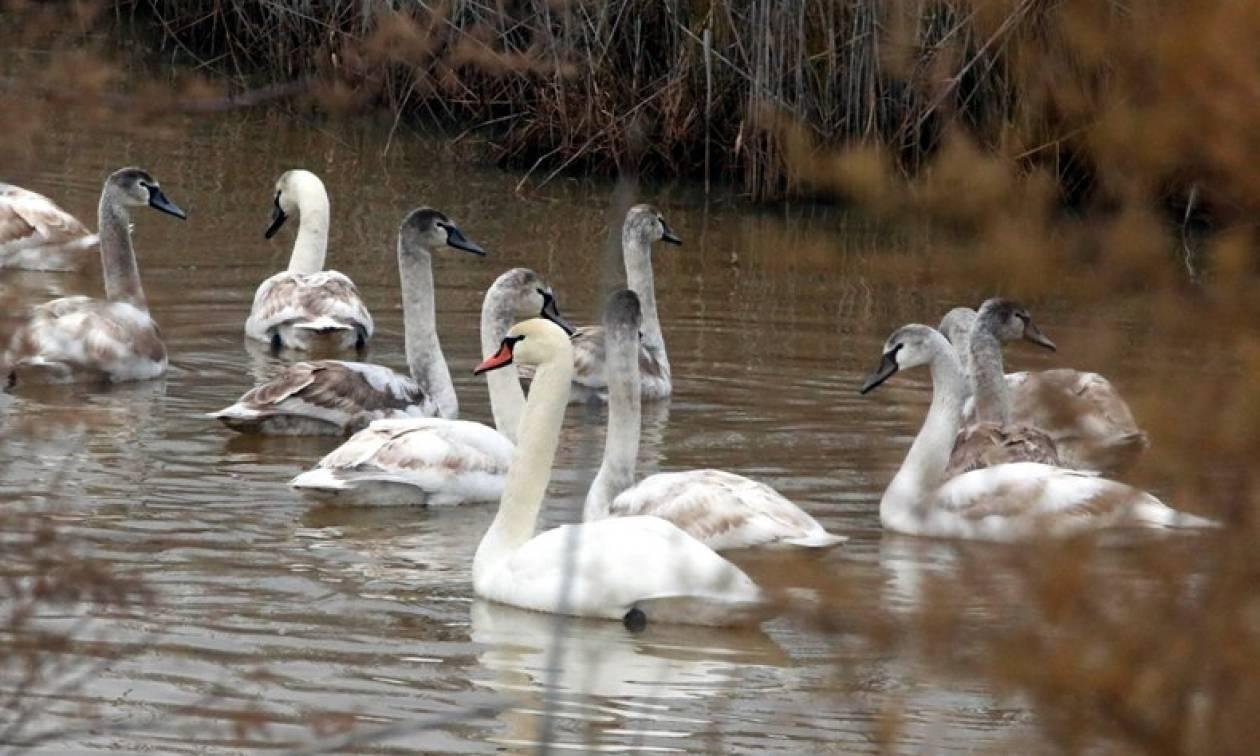 Συναγερμός! Η μετάλλαξη «Η5Ν8» της γρίπης των πτηνών βρέθηκε σε κύκνο στη λίμνη Βόλβη