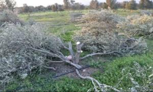 Κρήτη: Του έκανε παρατήρηση για την καταπάτηση της γης του κι αυτός του...έκοψε όλες τις ελιές!