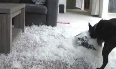 Ο σκυλάκος έμεινε μόνος του και δημιούργησε τον απόλυτο χαμό!