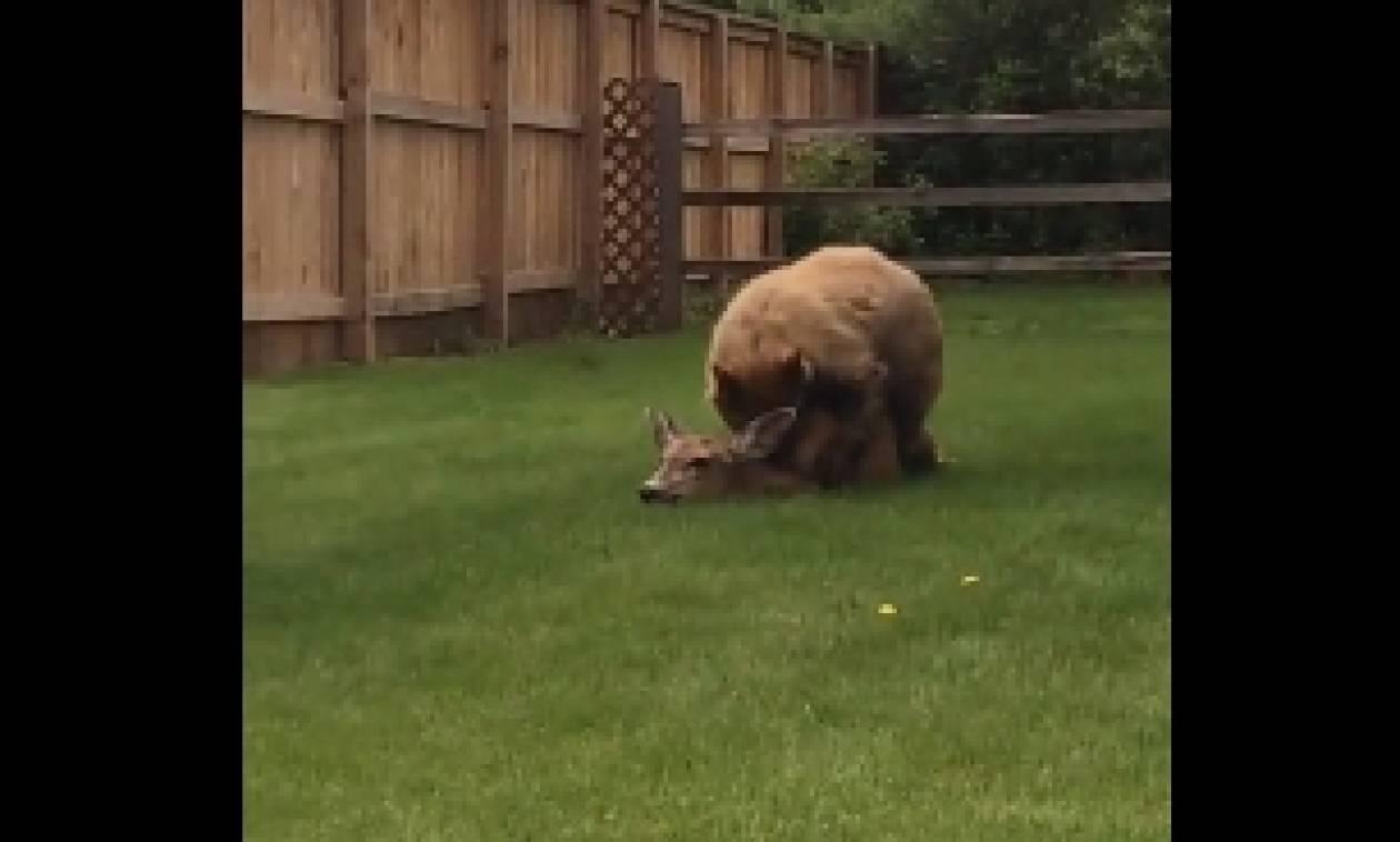 Απάνθρωπο: Αρκούδα σκοτώνει ελάφι σε κήπο και αντί να το σώσουν, επιλέγουν να τραβήξουν βίντεο...