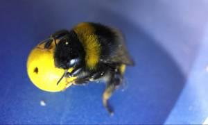Απίθανο! Επιστήμονες έμαθαν σε μέλισσες να παίζουν μπάλα και να βάζουν γκολ (Vid)