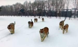Απίστευτο βίντεο: Αγέλη από τίγρεις εντοπίζει drone στον αέρα – Δείτε τι ακολούθησε