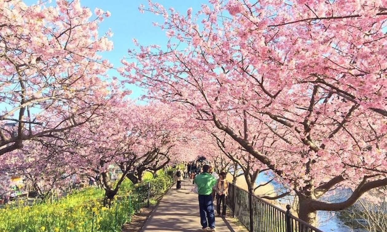 Μοναδικές εικόνες: Οι κερασιές έφεραν νωρίτερα την άνοιξη στην Ιαπωνία! (pics)