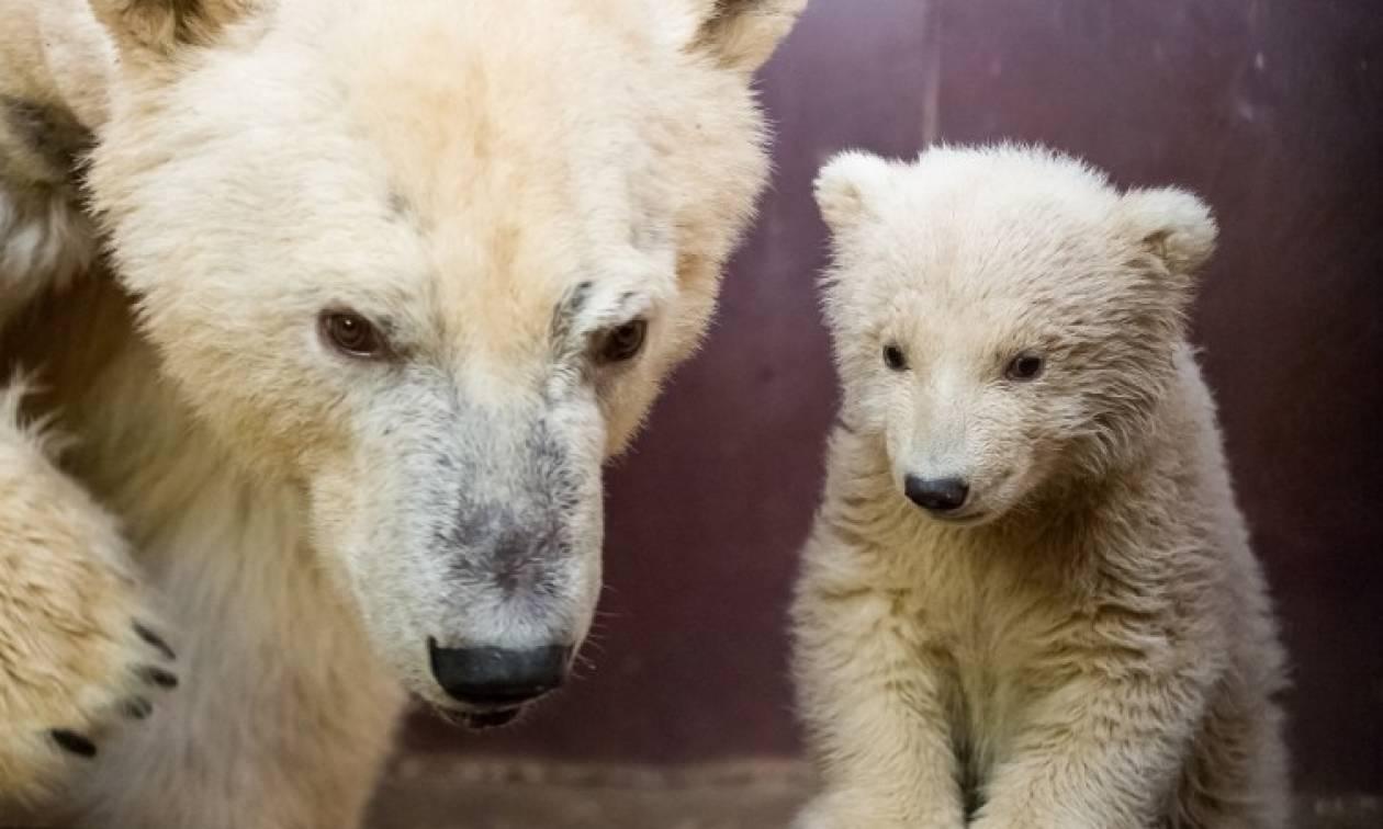 Θρήνος στο Βερολίνο: Πέθανε ο Φριτς, το πολικό αρκουδάκι που είχε κλέψει τις καρδιές των Γερμανών