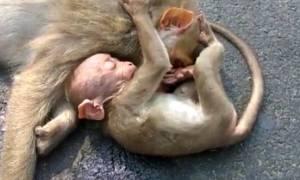 Ινδία: Συγκλονίζει πιθηκάκι που θρηνεί τον χαμό της μητέρας του (vid)