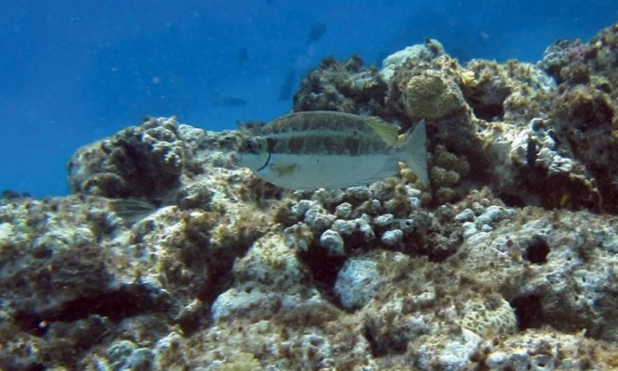 Το ψάρι που πωλείται χρυσάφι στην Κύπρο και στην Κρήτη το πετάνε!