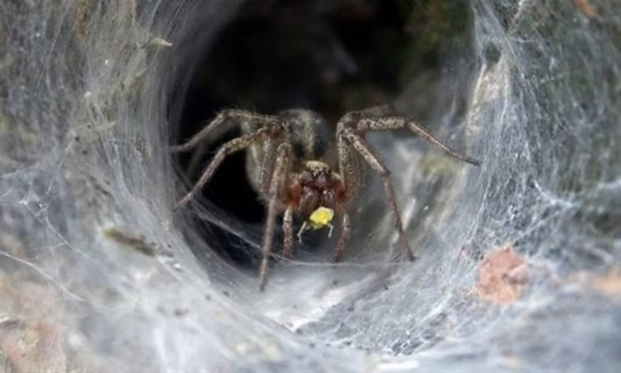 Δηλητήριο θανατηφόρας αράχνης μπορεί να περιορίσει τη ζημιά έπειτα από εγκεφαλικό!
