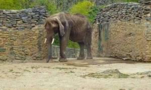 Σοκ προκαλεί η φωτογραφία αποστεωμένου ελέφαντα σε ζωολογικό κήπο στη Βενεζουέλα (Pic+Vid)
