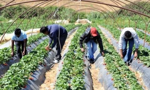 ΕΔΑΔ: Καταδικαστική απόφαση για την καταναγκαστική εργασία στις φυτείες φράουλας στη Μανωλάδα