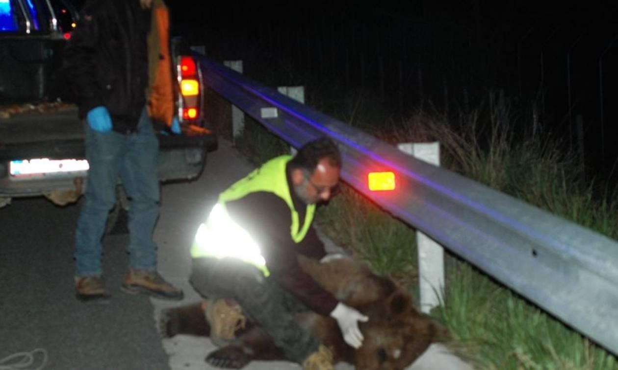 Νέο τροχαίο με θύμα αρκούδα στην Καστοριά – Έκκληση για λήψη πρόσθετων μέτρων