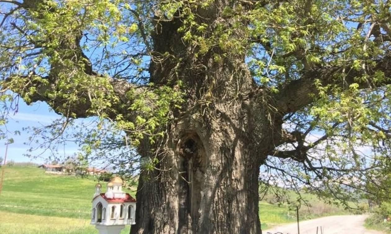 Η αρχαιότερη βελανιδιά της Ευρώπης βρίσκεται στην Δεσκάτη Γρεβενών (pics)