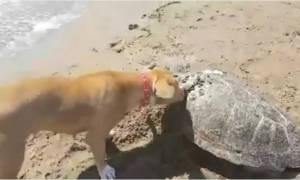 Το πιο συγκινητικό βίντεο που είδατε σήμερα: Σκύλος θάβει νεκρή θαλάσσια χελώνα