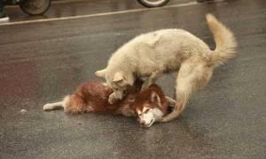 Συγκινητικό βίντεο: Σκύλος θρηνεί φίλο του και προσπαθεί να τον επαναφέρει στη ζωή