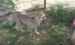 Τρομακτική επίθεση τσιτάχ σε τουρίστρια σε ζωολογικό πάρκο (vid)