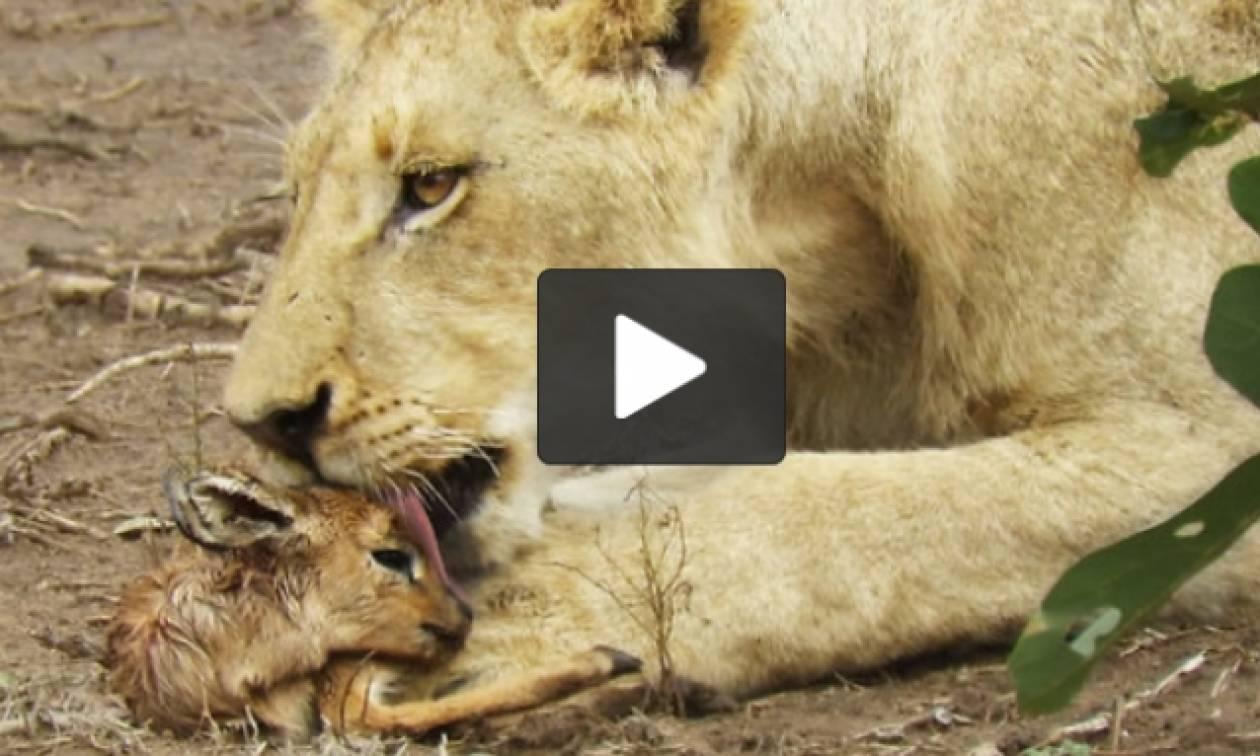 Λέαινα «αιχμαλωτίζει» ελαφάκι, αλλά η κατάληξη δεν είναι αυτή που φοβάστε (video)