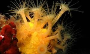 Τα κοράλλια της Μεσογείου εκπέμπουν SOS (pics & vid)
