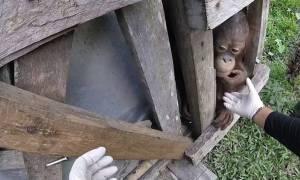 Απελευθέρωσαν ουρακοτάγκο που έμεινε κλεισμένος για 2 χρόνια σε ένα ξύλινο κουτί (vid)
