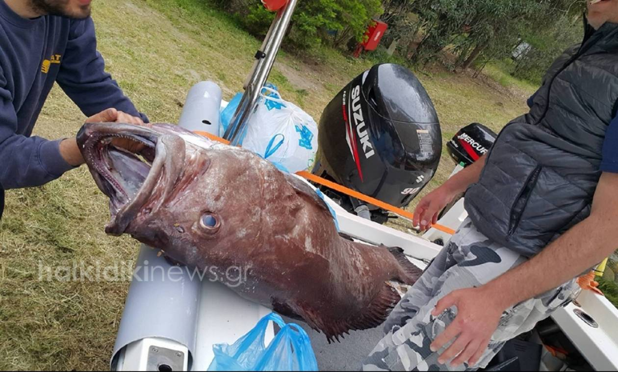 Ψάρεψαν βλάχο 72 κιλών ανοιχτά της Σιθωνίας (pics&vid)