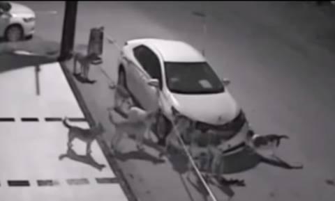 Απίστευτο βίντεο: Αγέλη σκύλων διαλύει αυτοκίνητο για να βρει... μια γάτα!