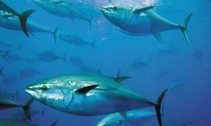 Εύβοια: Η απίστευτη ψαριά κάνει το γύρο του διαδικτύου! Έπιασαν τόνο 358 κιλών (pics&vids)