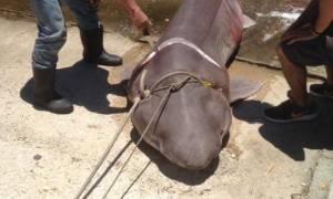 Έπιασαν καρχαρία - «σαπουνά» τριών μέτρων στην Ιθάκη! (pics)