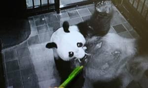 Κάμερα βιντεοσκοπεί γιγαντιαίο πάντα να γεννά το μωρό του σε ζωολογικό κήπο στην Ιαπωνία!