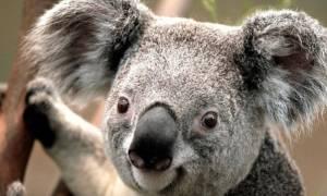 Ο ζωολογικός κήπος του Σίδνεϊ «υποδέχεται» ένα μωρό κοάλα!
