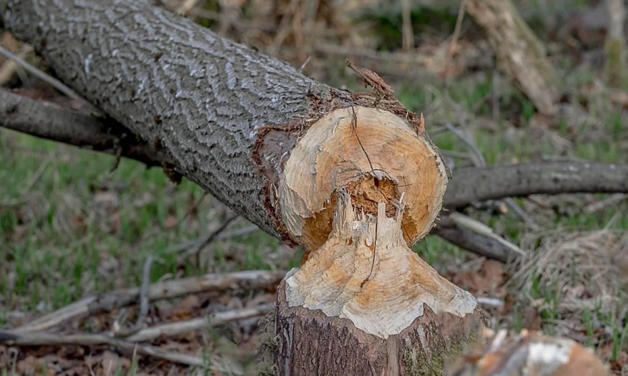 Τον καταπλάκωσε το δέντρο που έκοβαν! Σύλληψη 42χρονου για ανθρωποκτονία από αμέλεια