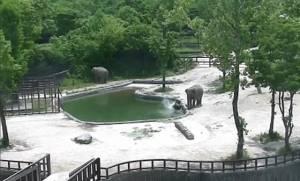 Εκπληκτικό βίντεο: Ελέφαντες σώζουν το μωρό τους από βέβαιο πνιγμό!