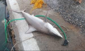 Στη Γαύδο ψαράδες πήγαν για ψάρι και έβγαλαν... καρχαρία!