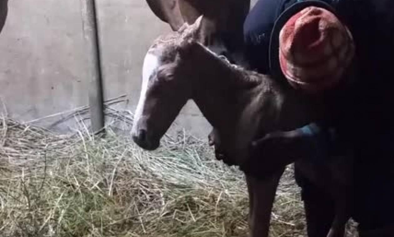 Σπάνιο φαινόμενο: Εχετε δει ποτέ να γεννιούνται... δίδυμα άλογα; (video)