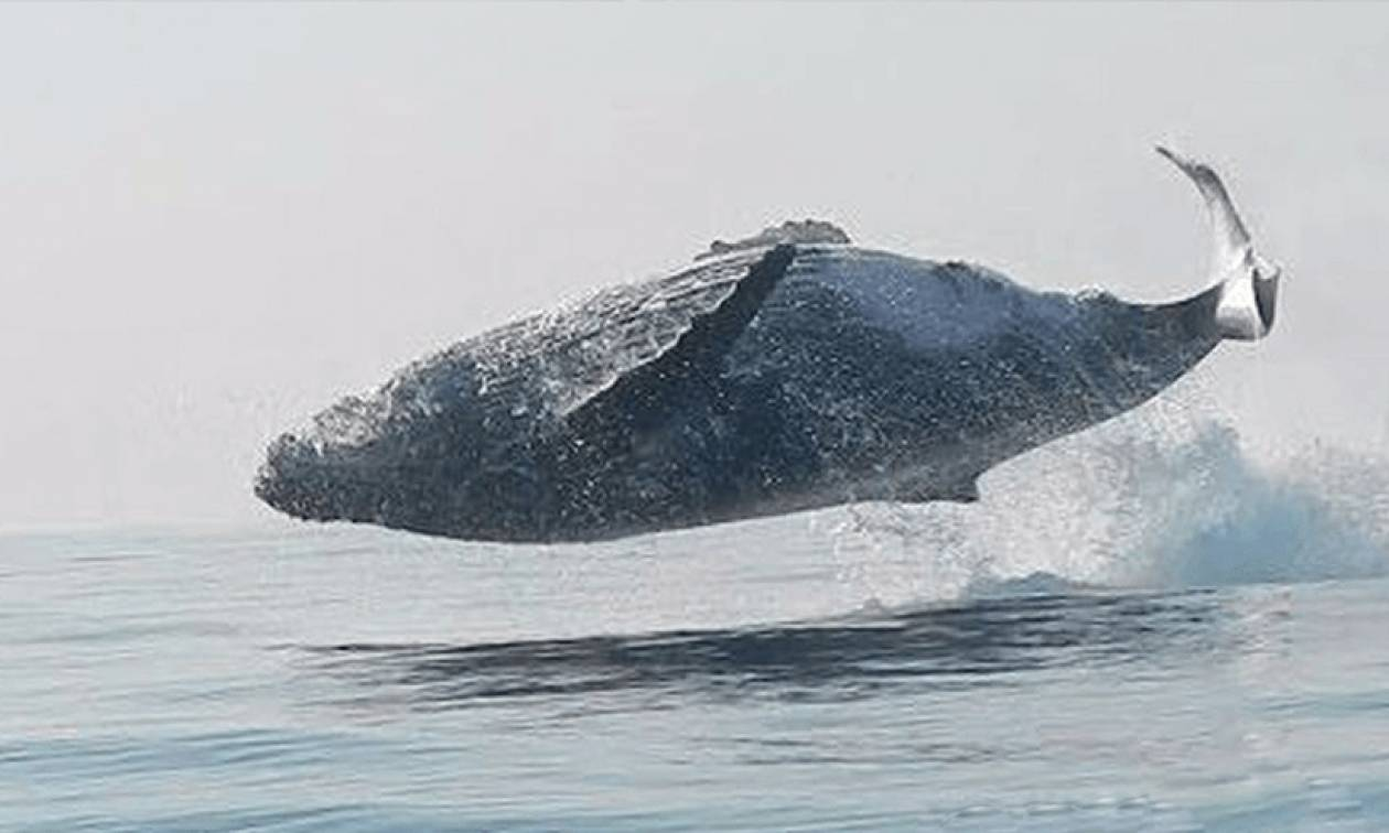 Απίστευτο: Φάλαινα 40 τόνων... ίπταται σαν δελφίνι (video)