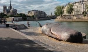 Φάλαινα φυσητήρας ξεβράστηκε στις όχθες του Σηκουάνα