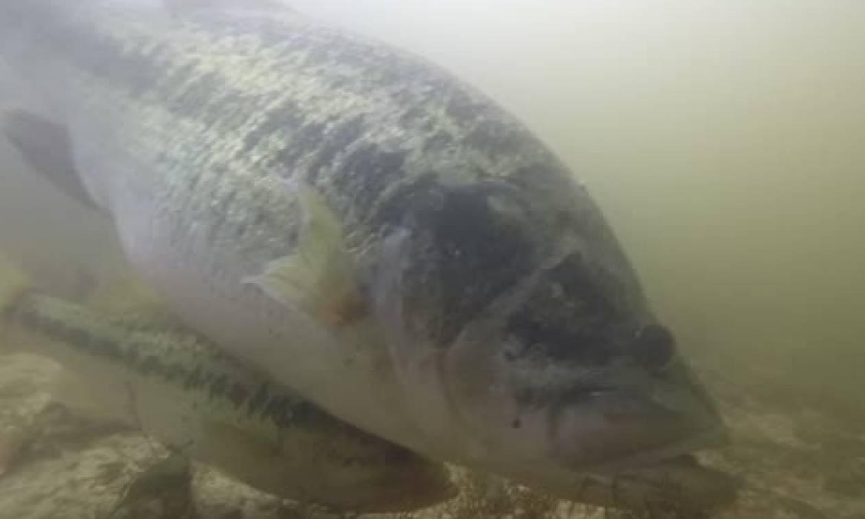 Αυτό είναι το ψάρι που κάθε ψαράς θα ήθελε να δει στο... πιάτο του (video)
