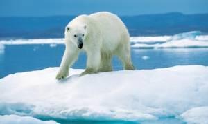 Έκαναν δώρο σε πολικές αρκούδες πάρκου… νταλίκες με χιόνι!