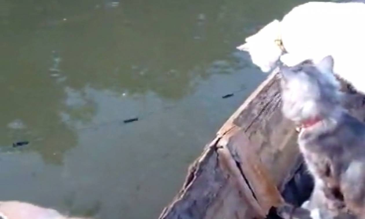 Αυτό δεν έχει ξαναγίνει: Ψαράς έριξε δίχτυα και τα σηκώνει για να φάνε οι γάτες του (video)