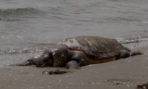Φρίκη σε παραλία του Ηρακλείου: Αδίστακτοι αποκεφάλισαν χελώνα καρέτα-καρέτα