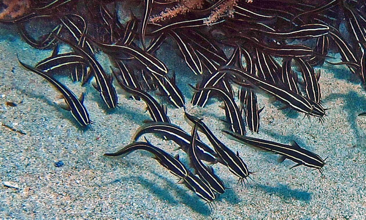 Συναγερμός στο Αιγαίο: Οι επιστήμονες προειδοποιούν για δηλητηριώδες ψάρι