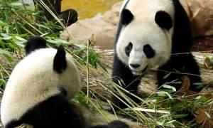 Πέθανε ένα από τα δίδυμα που γέννησε το πάντα Χουάν Χουάν του ζωολογικού κήπου του Μποβάλ