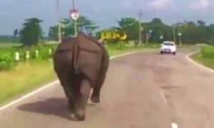 Αυτά συμβαίνουν όταν ένας ρινόκερος βγαίνει για βόλτα στο δρόμο (Vid)