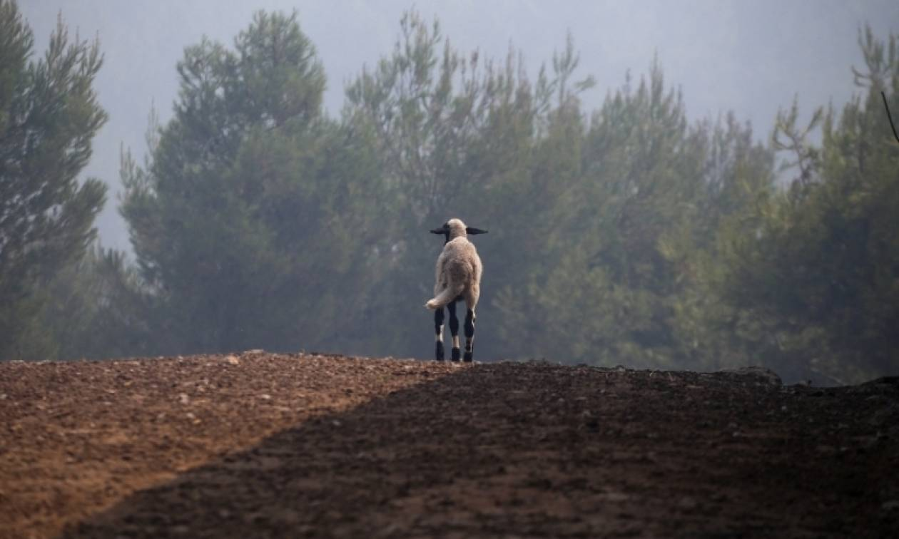 SOS για τα νεκρά άγρια ζώα από τις πυρκαγιές
