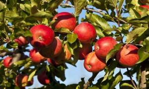 Η... πορεία του πιο διάσημου φρούτου: Πώς δημιουργήθηκαν 7.500 ποικιλίες μήλου!