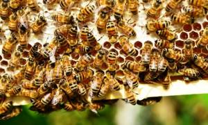 Έζησε από θαύμα! Τον δάγκωσαν πάνω από 100 μέλισσες επειδή δεν είχε... καπνό