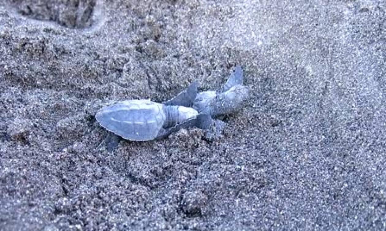 Χελωνάκια ετοιμάζονται να κάνουν τα πρώτα τους βήματα προς τον ωκεανό (video)