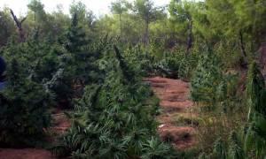 Λακωνία: Ολόκληρο «δάσος» από δενδρύλλια ινδική κάνναβης ανακάλυψαν οι Αρχές