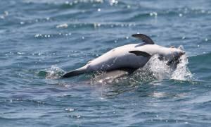 Συγκλονιστικό βίντεο: Δελφίνι στον Αμβρακικό αρνείται να εγκαταλείψει το νεκρό μωρό του