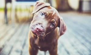 Γνωρίζετε γιατί οι σκύλοι γυρίζουν το κεφάλι τους όταν τους μιλάμε;